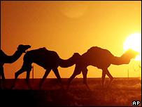 _44068209_camels_ap203b.jpg